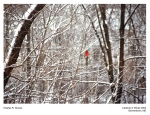 Cardinal in Snow Trees_LoRes